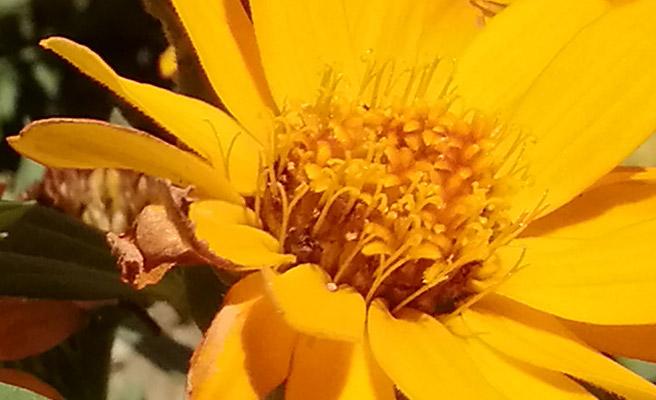 手前の花に焦点を合わせた写真の花の部分を100%表示してみました。 少しにじんでいますが、花の輪郭や毛のような部分まで再現されている