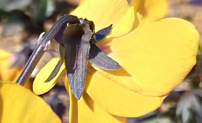 手前の花にフォーカスを合わせた写真の花の部分を100%表示してみました。 スマホで撮影した写真にありがちな輪郭の滲みはなく、しっかりと花の輪郭や毛のような部分まで再現されているのが分かります