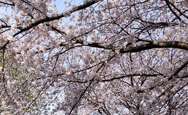 次は、晴れた日に桜を撮影してみました。